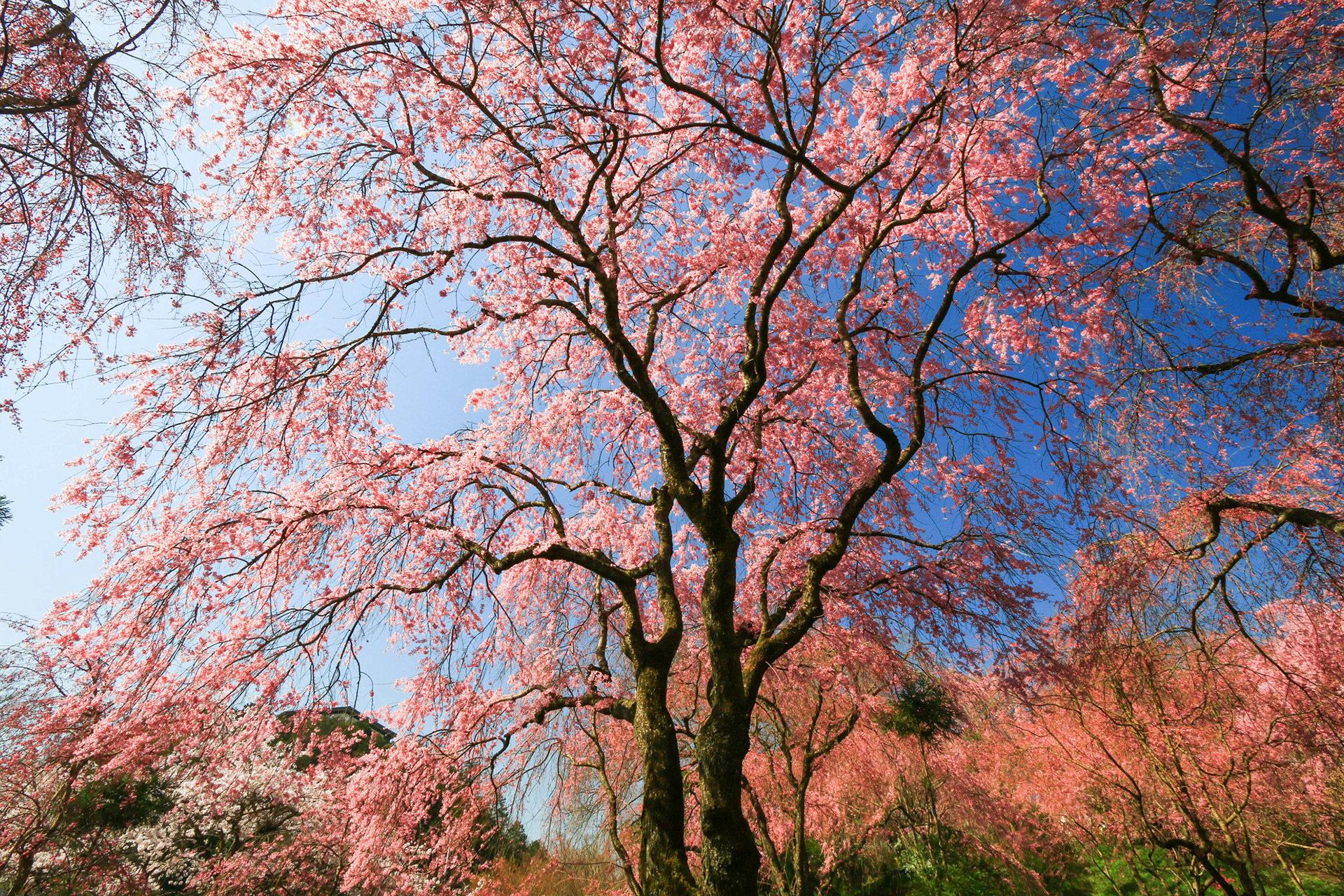 京都-原谷苑-桜-満開