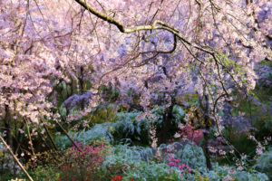 京都-原谷苑-桜-見頃