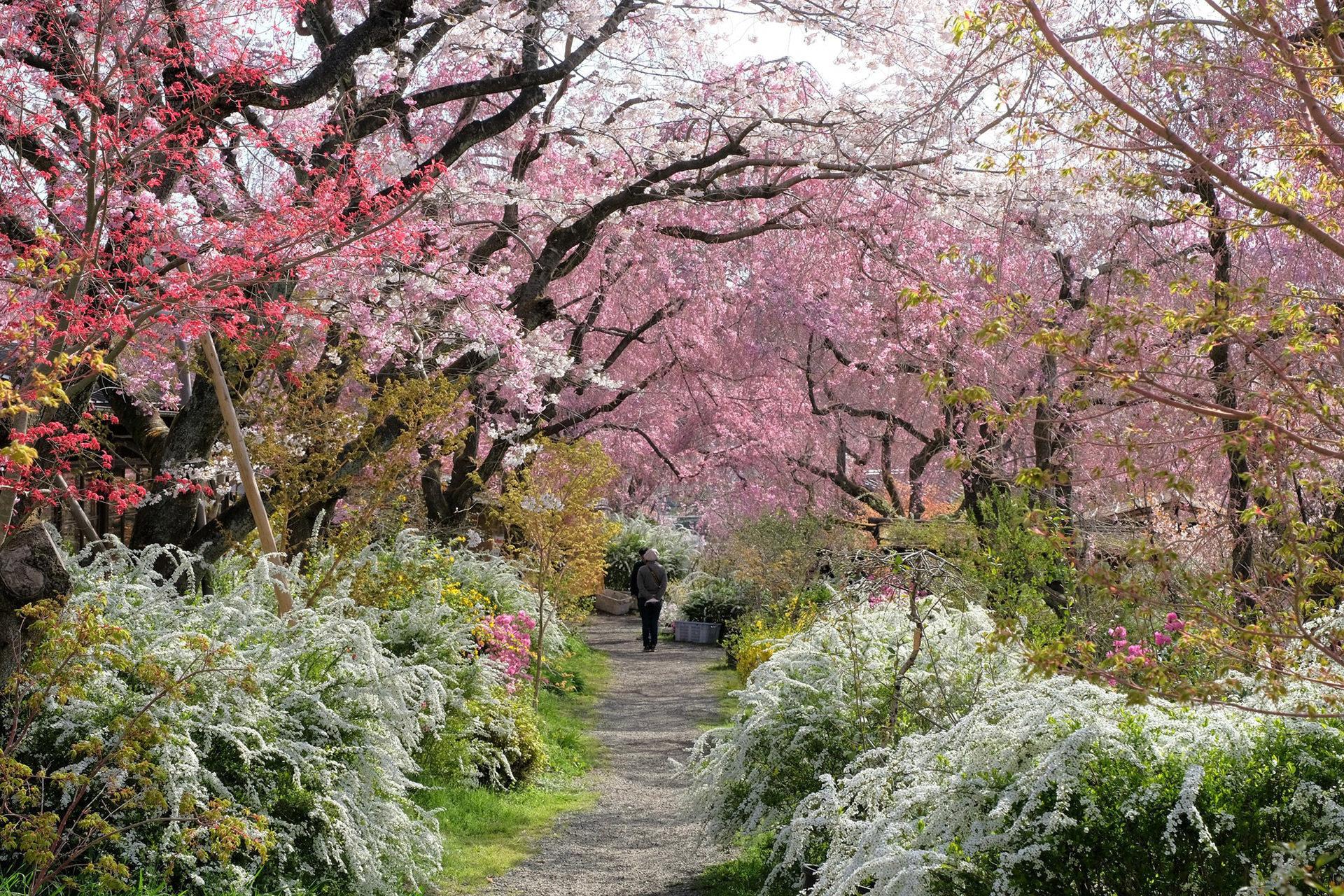京都--原谷苑-桜-道