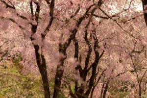 京都-原谷苑-桜-風景