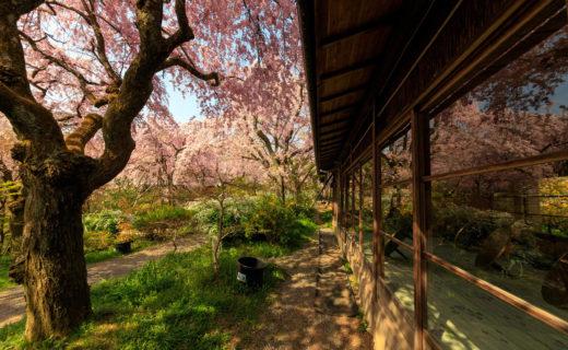 京都-原谷苑-桜
