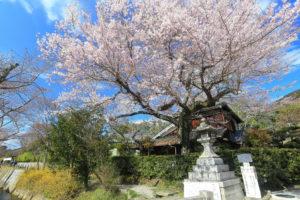 京都-哲学の道-桜-イメージ