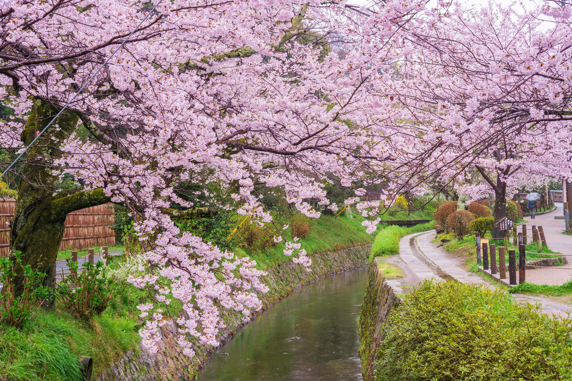 京都-哲学の道-桜