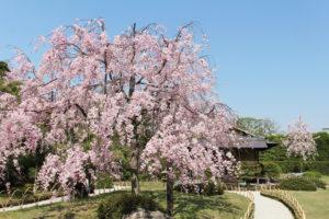 京都-城南宮-桜