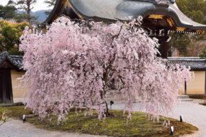 京都-大本山大覚寺-桜