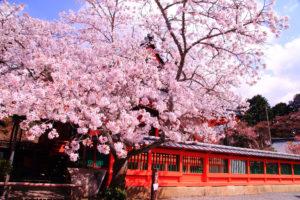 京都-天台宗-桜