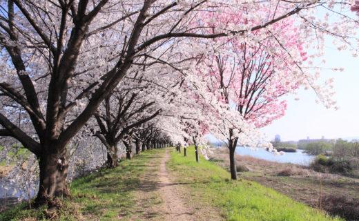 京都-天神川通り-桜