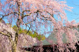 京都-天龍寺-桜