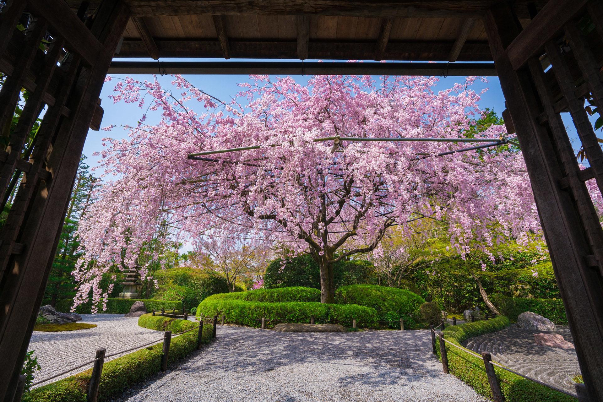 妙心寺-桜