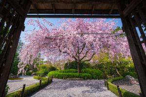京都-妙心寺-退蔵院-桜