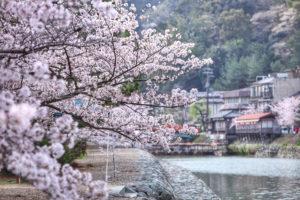 京都-宇治川-桜