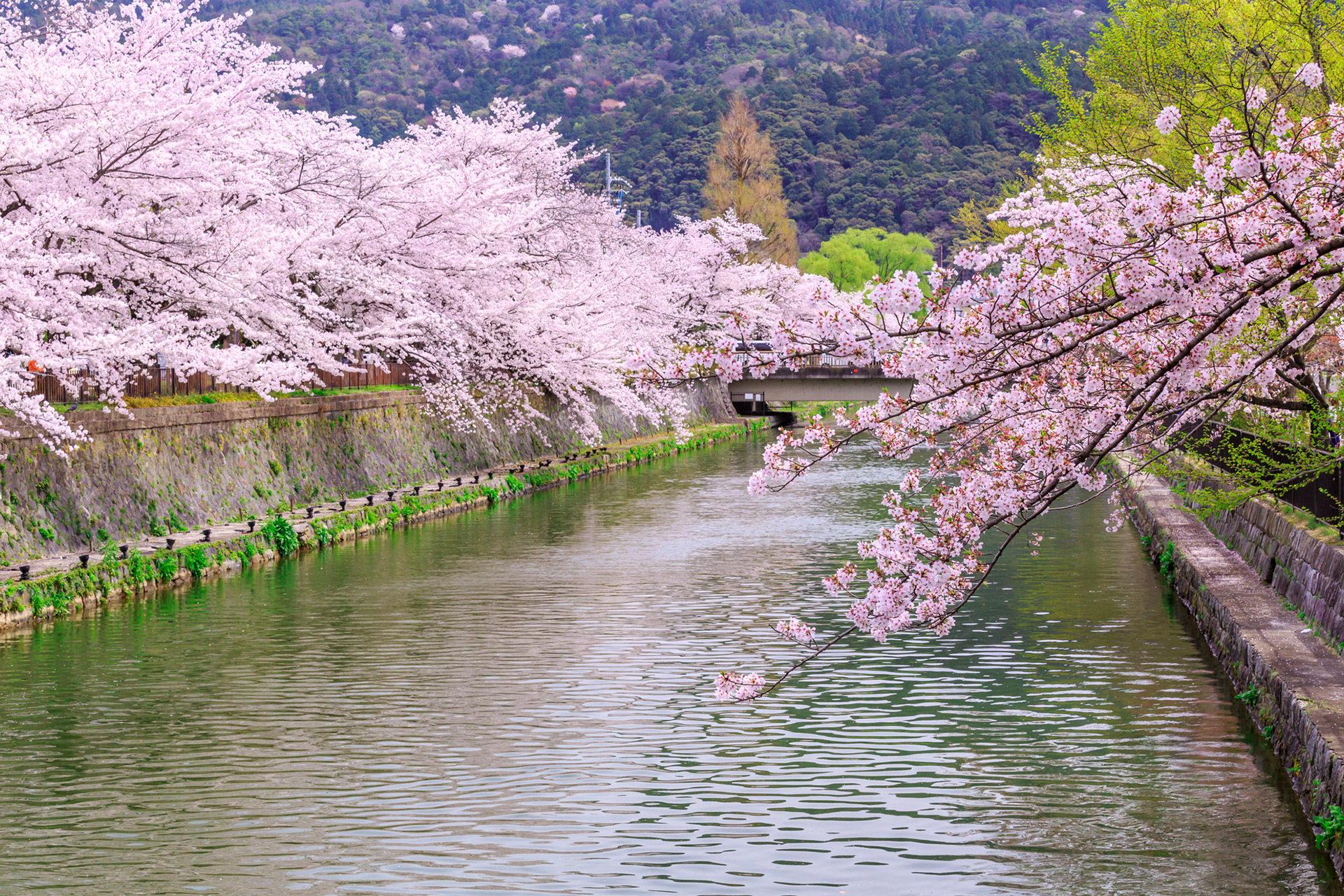 京都-岡崎疎水-桜-イメージ