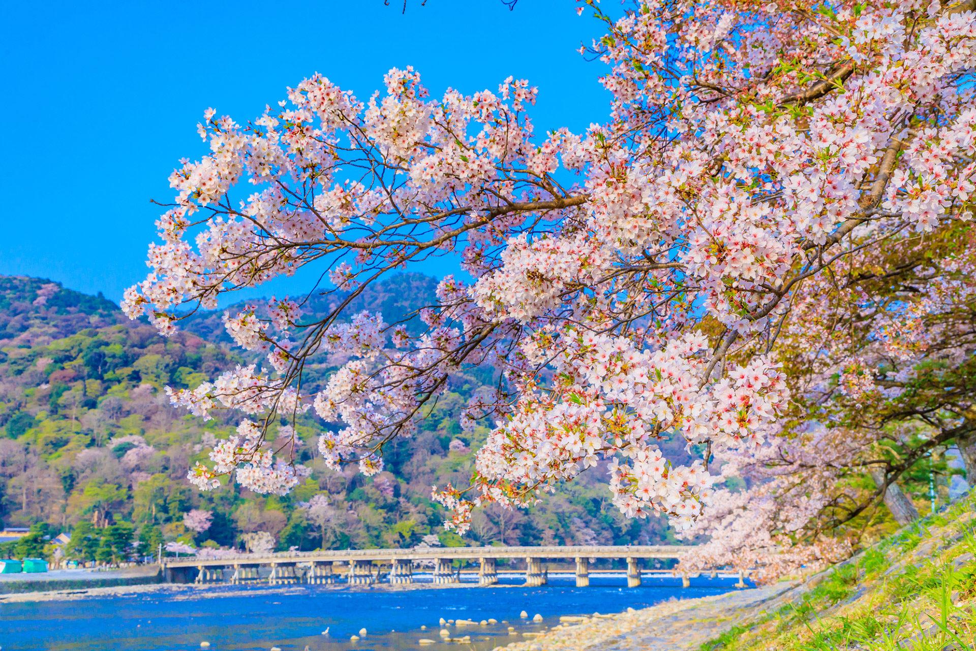 京都-嵐山-桜-スポット