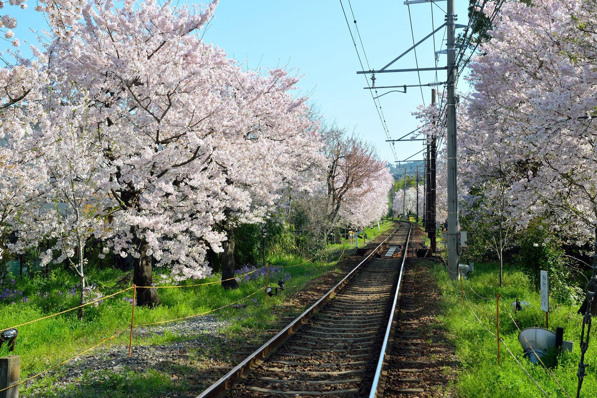 京都-嵐電-桜-風景