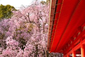 京都-平安神宮-桜-イメージ
