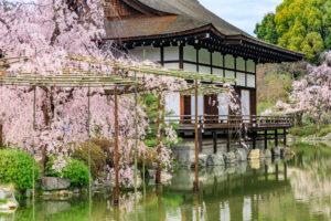 京都-平安神宮-桜-見頃