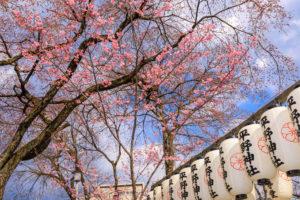 京都-平野神社-桜-ピンク