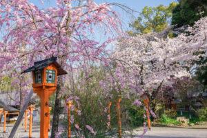 京都-平野神社-桜-種類