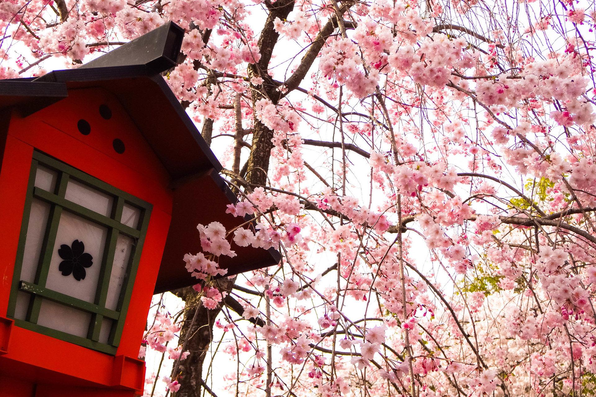 京都-平野神社-珍しい桜