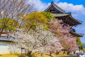 京都-御室桜