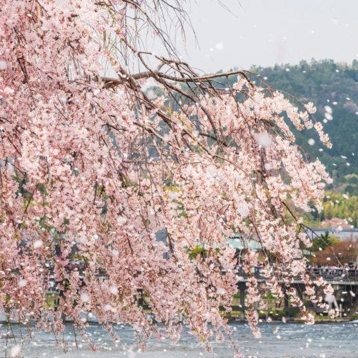 京都-散り桜-イメージ