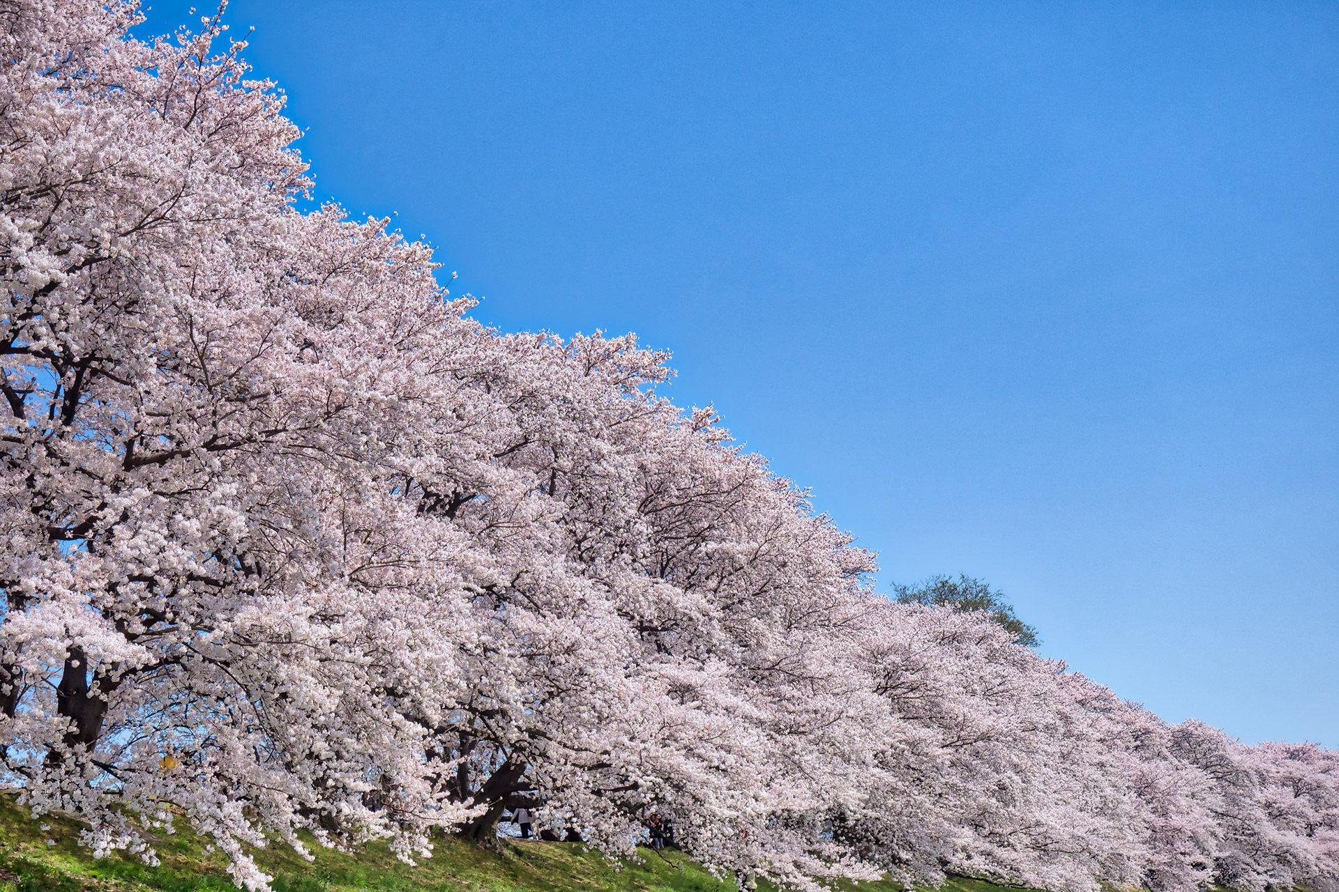 京都-祇園白川-桜