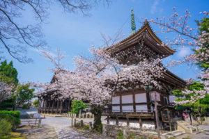 京都-本法寺-桜
