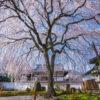 京都-本満寺-枝垂れ桜