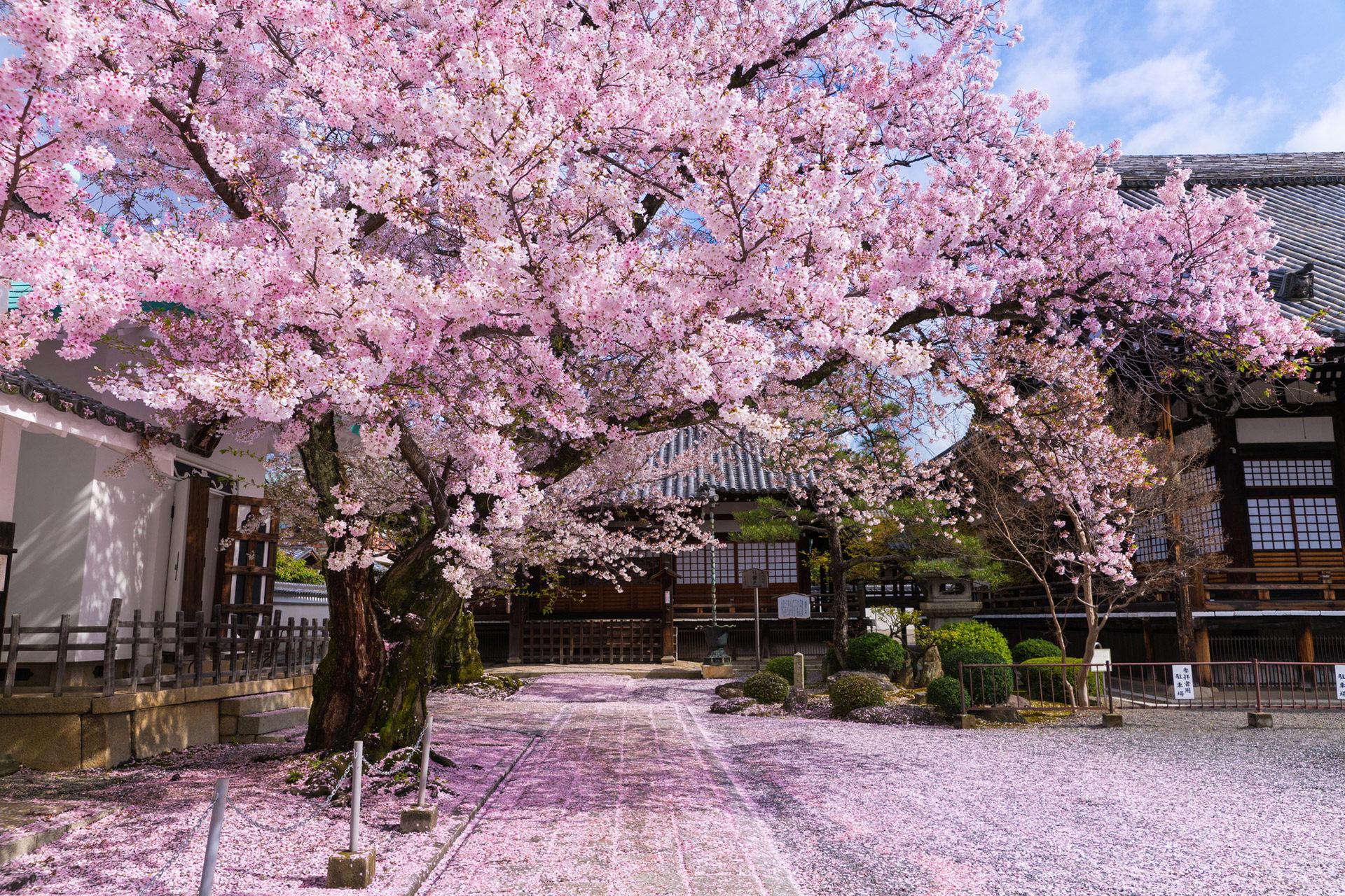 京都-本隆寺-桜