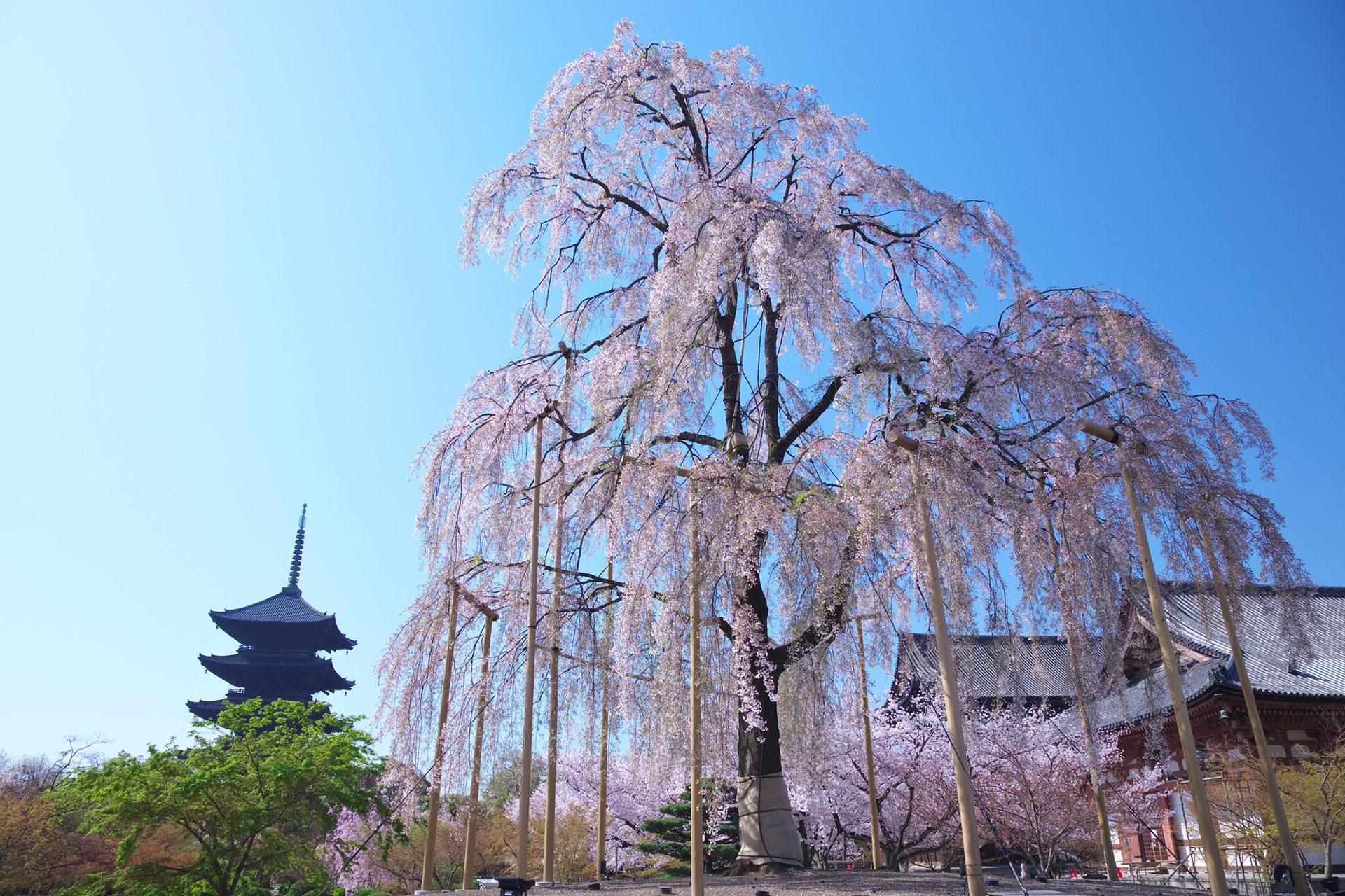 京都-東寺-しだれ桜-イメージ