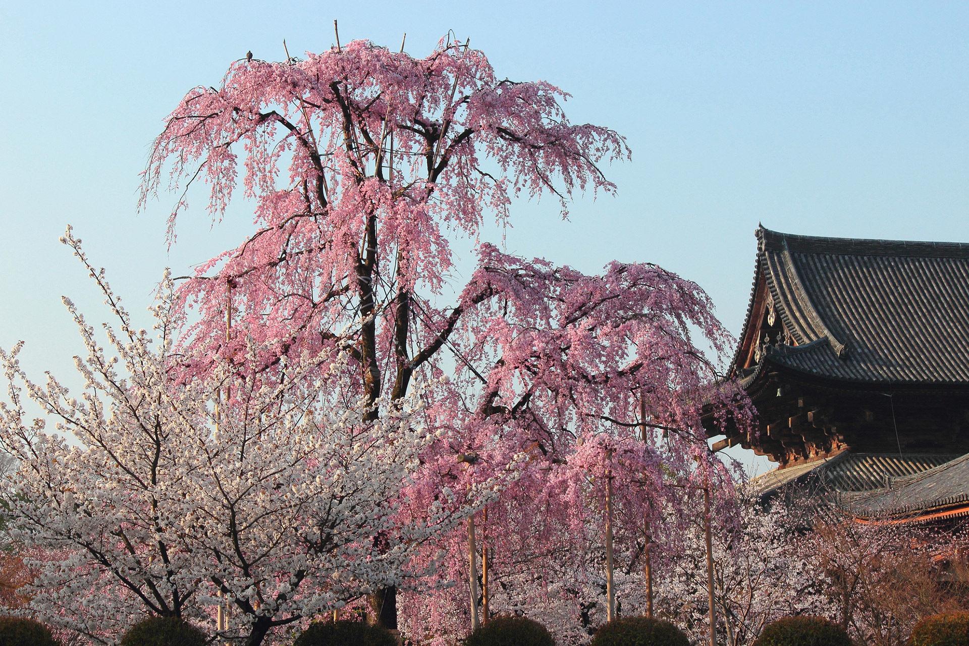 京都-東寺-しだれ桜
