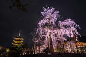 京都-東寺-シダレ桜