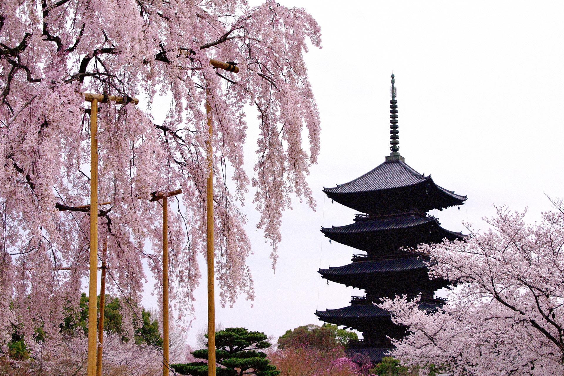 京都-東寺-五重塔-桜