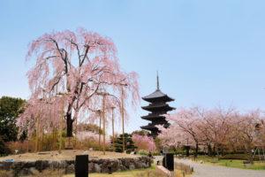 京都-東寺-早朝桜