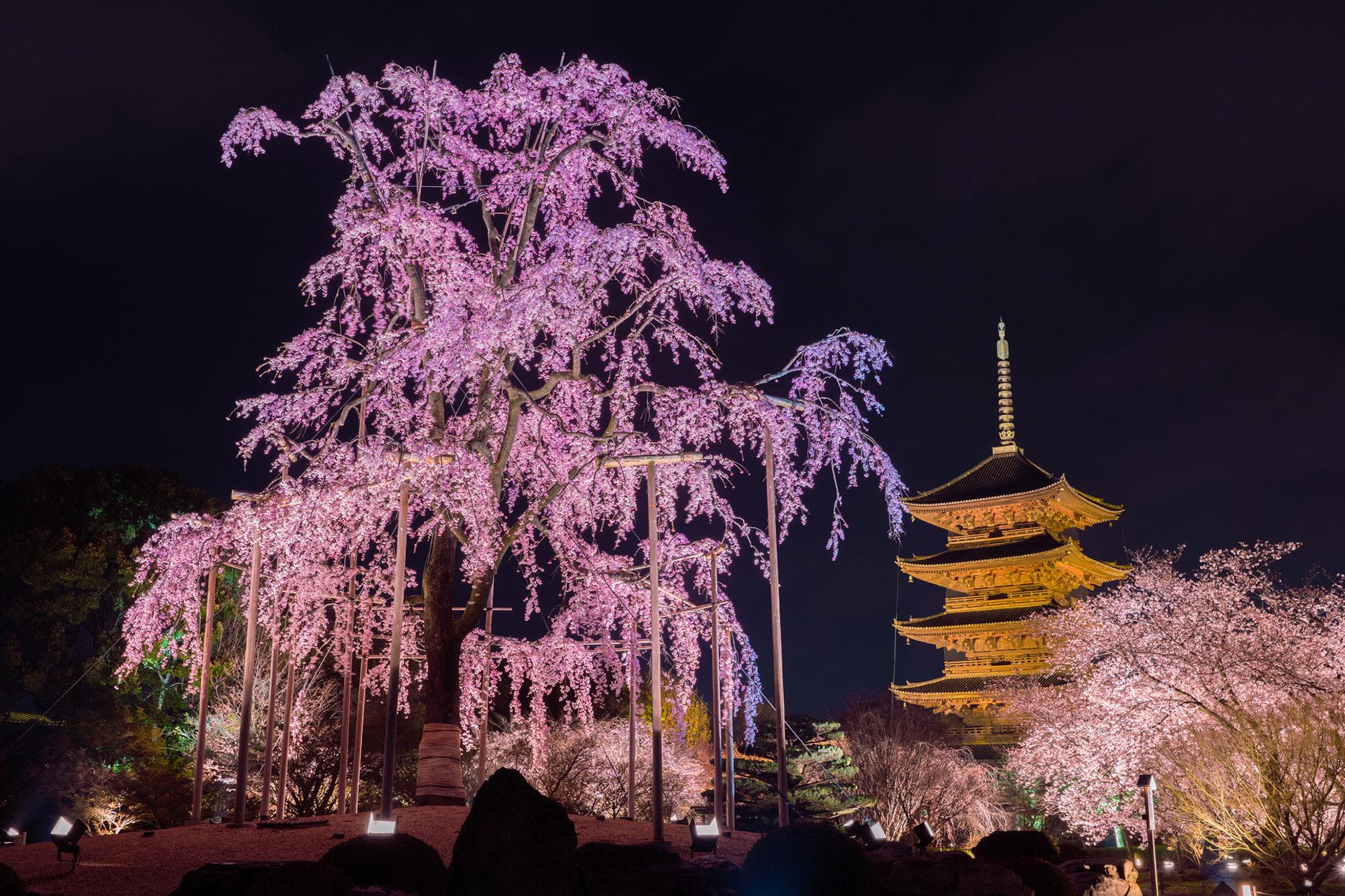 京都-東寺-桜-イメージ