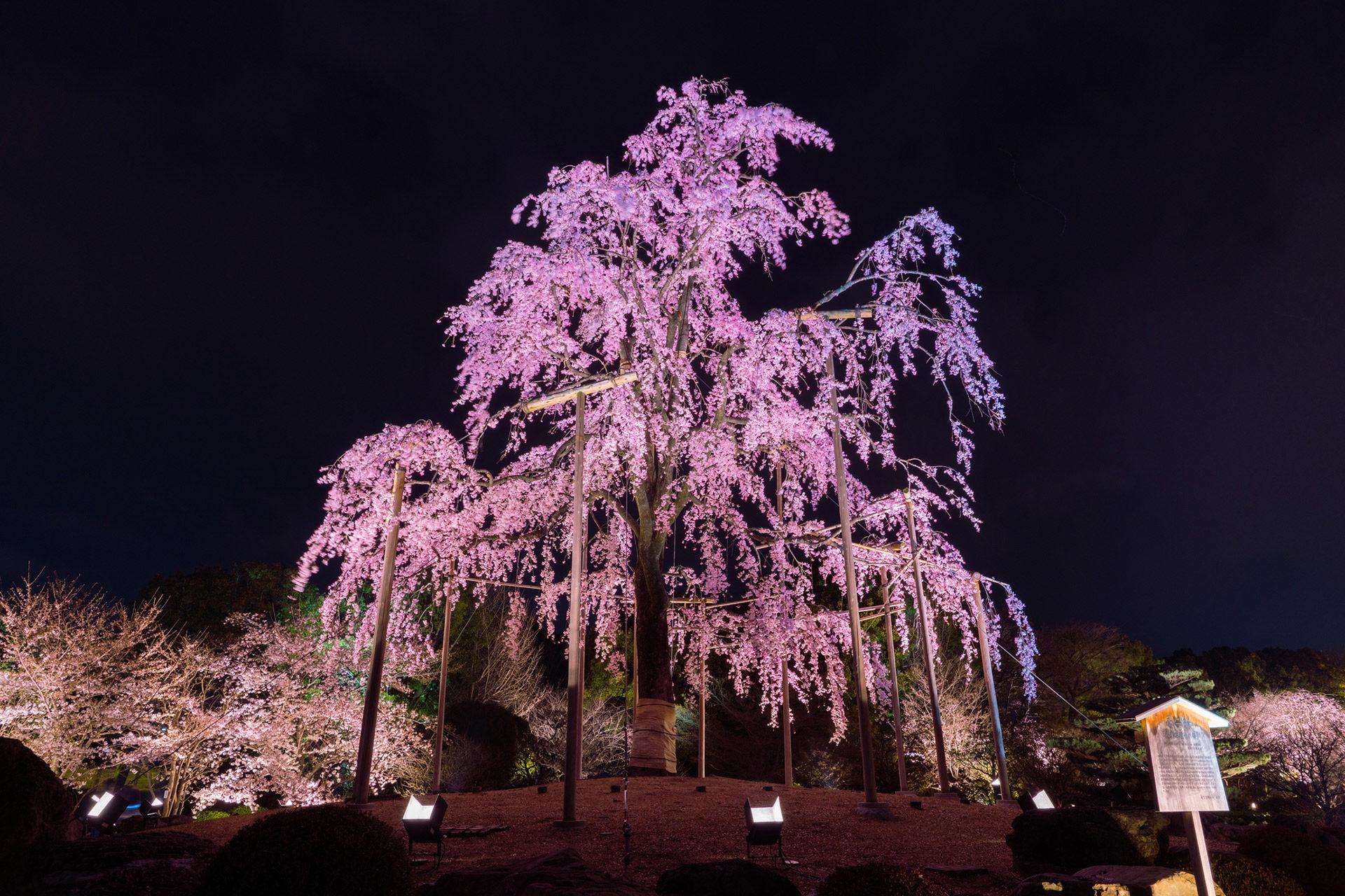 京都-東寺-桜-ライトアップ-イメージ