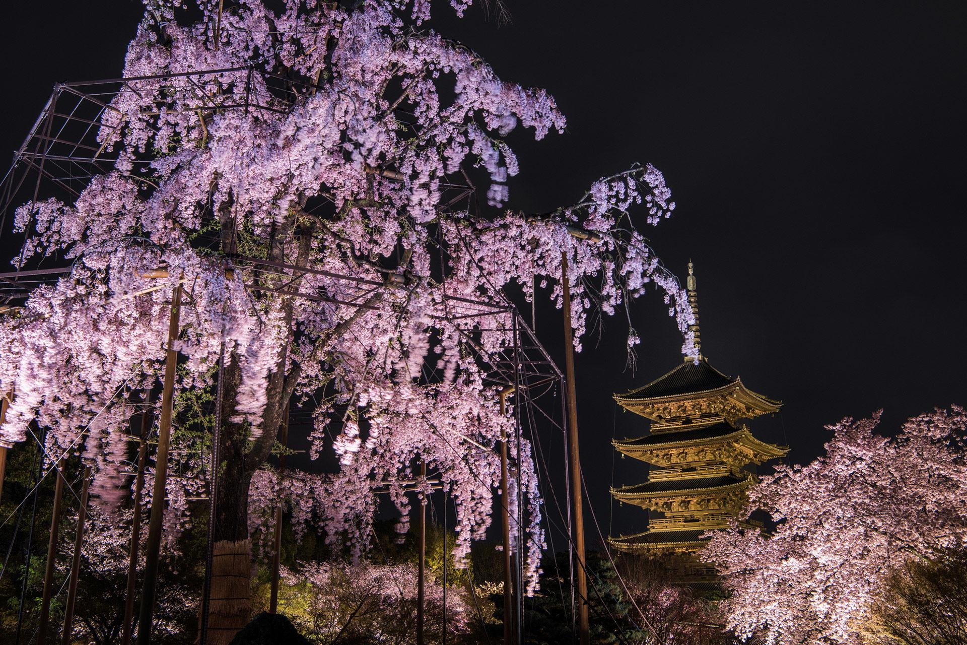 京都-東寺-桜-ライトアップ