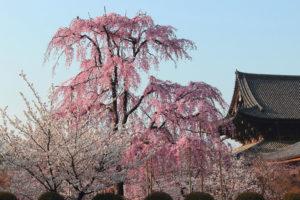 京都-東寺-桜-遅咲き