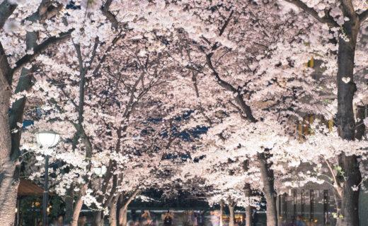 京都-桜-イベント