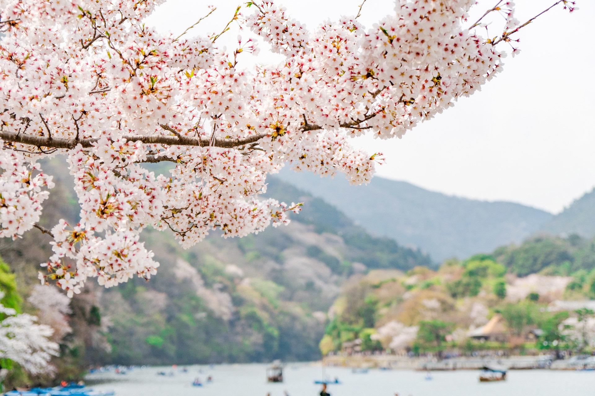 京都-桜-イメージ