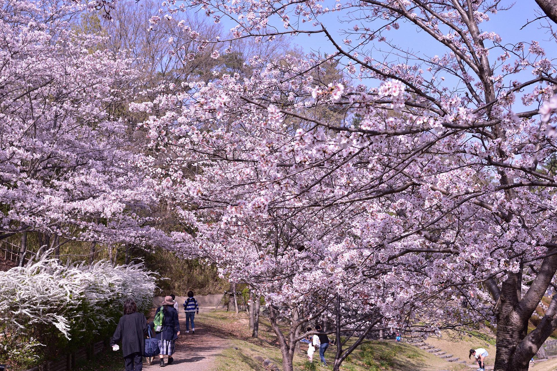京都-桜-デートスポット
