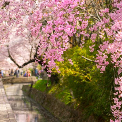 京都-桜-デート