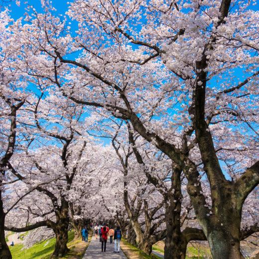 京都-桜-トンネル