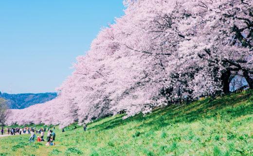 京都-桜-ピクニック