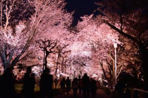 京都-桜-二条城-ライトアップ
