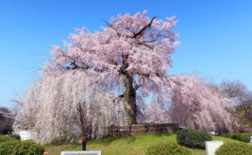 京都-桜-公園