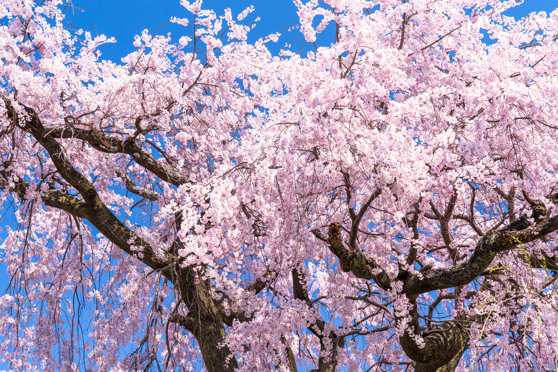 京都-桜-円山公園