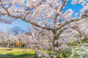京都-桜-名所-イメージ-風景