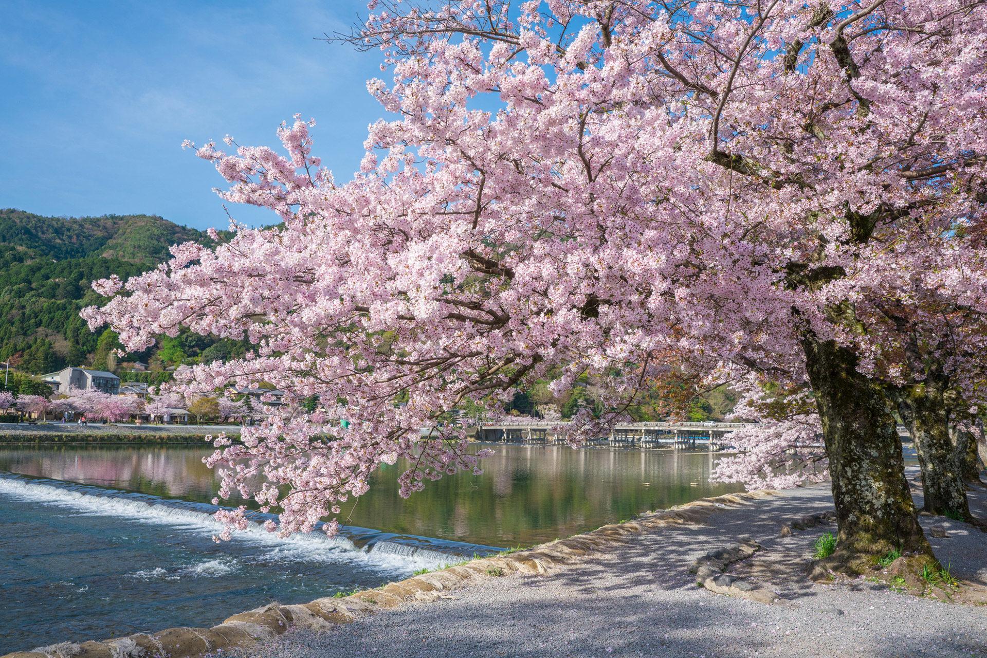 京都-桜-名所-満開