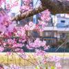 京都-桜-名所